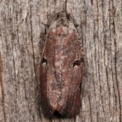 Meritastis pyrosemana (A Tortricid moth) at Melba, ACT - 3 Apr 2021 by kasiaaus