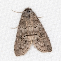 Calathusa sp nr dispila at Melba, ACT - 10 Mar 2021 by Bron