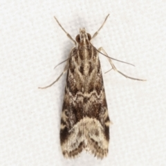 Hellula hydralis (Cabbage Centre Moth) at Melba, ACT - 3 Apr 2021 by kasiaaus