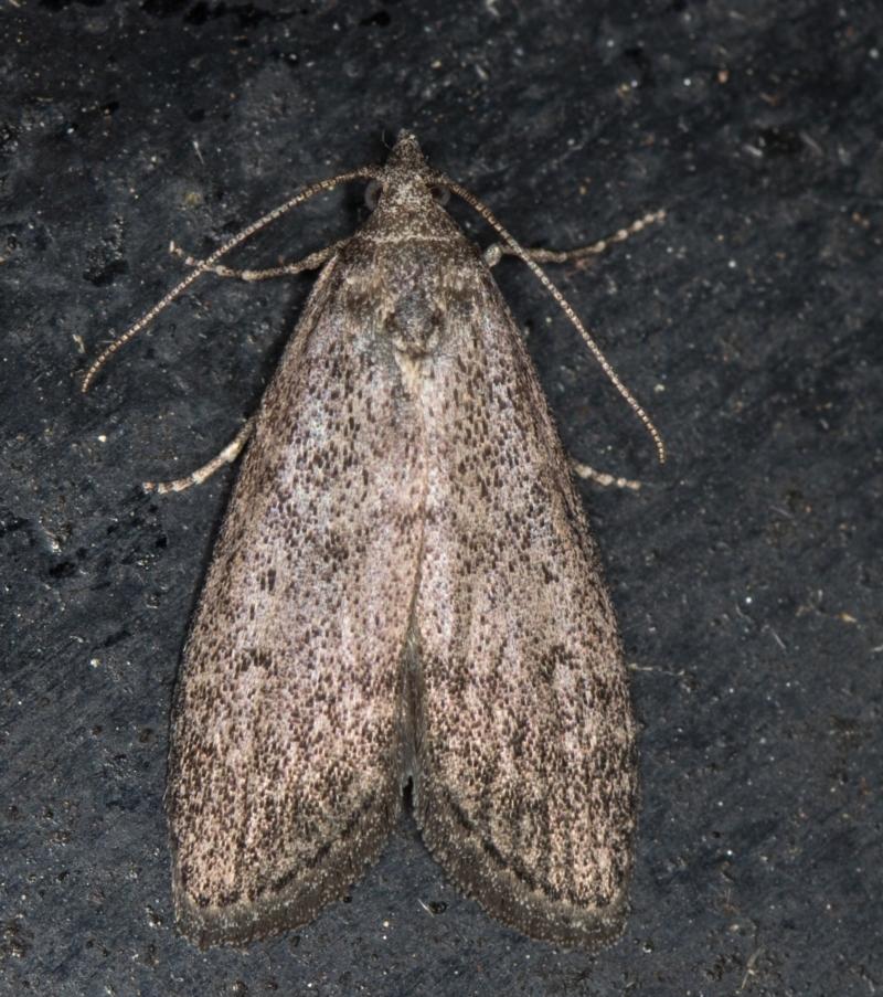Heteromicta pachytera at Melba, ACT - 10 Mar 2021