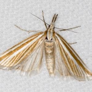 Hednota species near grammellus at Melba, ACT - 10 Mar 2021