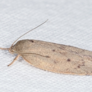 Heliocausta undescribed species at Melba, ACT - 3 Apr 2021