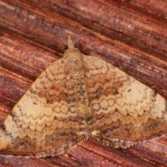 Chrysolarentia mecynata (Mecynata Carpet Moth) at Melba, ACT - 3 Apr 2021 by kasiaaus