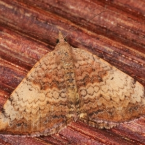 Chrysolarentia mecynata at Melba, ACT - 3 Apr 2021