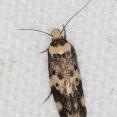 Sphyrelata amotella (A Concealer moth) at Melba, ACT - 10 Mar 2021 by Bron