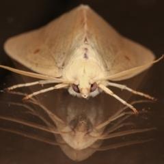 Plesanemma fucata (Lemon Gum Moth) at Melba, ACT - 3 Apr 2021 by kasiaaus
