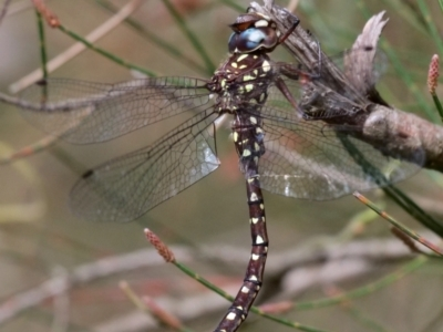 Dendroaeschna conspersa (Wide-faced Darner) at ANBG - 10 Apr 2021 by Lindell