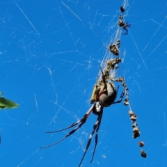 Nephila edulis (Golden orb weaver) at Isaacs, ACT - 9 Apr 2021 by Mike