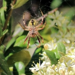 Cyclosa fuliginata (species-group) (An orb weaving spider) at Wonga Wetlands - 29 Nov 2020 by Kyliegw