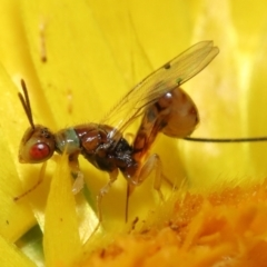 Megastigmus sp. (genus) (Parasitic wasp) at ANBG - 9 Apr 2021 by TimL