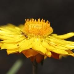 Megastigmus sp. (genus) at ANBG - 9 Apr 2021