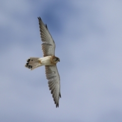 Falco cenchroides (Nankeen Kestrel) at Hume, ACT - 10 Apr 2021 by RodDeb
