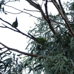 Polytelis swainsonii (Superb Parrot) at Hughes Grassy Woodland - 10 Apr 2021 by Ct1000
