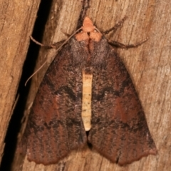 Fisera eribola (Orange-hooded Crest-moth) at Melba, ACT - 3 Apr 2021 by kasiaaus