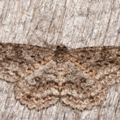 Ectropis fractaria (Ringed Bark Moth) at Melba, ACT - 3 Apr 2021 by kasiaaus