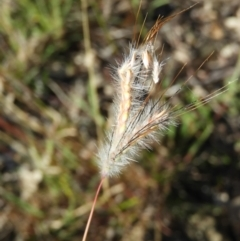 Dichanthium sericeum (Queensland Blue-grass) at Kambah, ACT - 2 Apr 2021 by MatthewFrawley