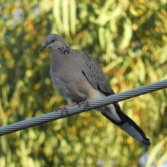 Streptopelia chinensis (Spotted Dove) at Kambah, ACT - 3 Apr 2021 by MatthewFrawley