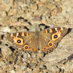 Junonia villida (Meadow Argus) at Kambah Pool - 2 Apr 2021 by MatthewFrawley