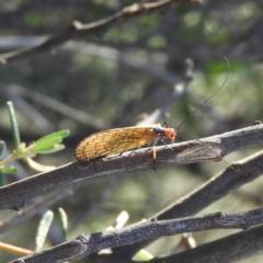 Chorista australis (Autumn scorpion fly) at Kambah, ACT - 2 Apr 2021 by MatthewFrawley