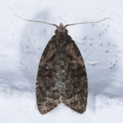 Capua intractana (A Tortricid moth) at Melba, ACT - 3 Apr 2021 by kasiaaus