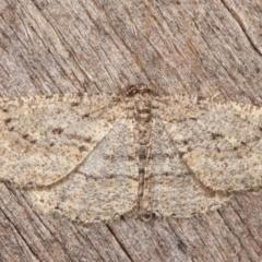 Zermizinga sinuata (Lucerne Looper, Spider Moth) at Melba, ACT - 3 Apr 2021 by kasiaaus