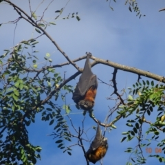 Pteropus poliocephalus (Grey-headed Flying Fox) at Commonwealth & Kings Parks - 10 Apr 2021 by GirtsO