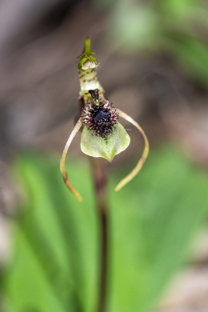 Chiloglottis seminuda at suppressed - 9 Apr 2021