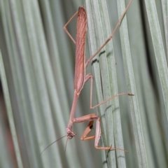 Pseudomantis albofimbriata (False garden mantis) at ANBG - 9 Apr 2021 by TimL
