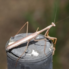 Pseudomantis albofimbriata at Acton, ACT - 9 Apr 2021