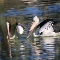 Pelecanus conspicillatus at Horseshoe Lagoon and West Albury Wetlands - 5 May 2019