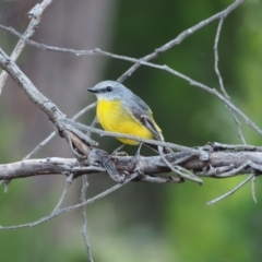 Eopsaltria australis (Eastern Yellow Robin) at Woodstock Nature Reserve - 10 Apr 2021 by wombey