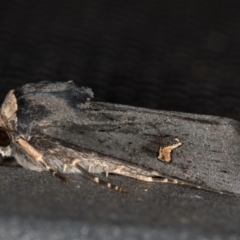 Proteuxoa cinereicollis (A noctuid or owlet moth) at Melba, ACT - 13 Mar 2021 by Bron