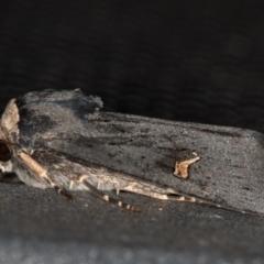 Proteuxoa cinereicollis (A noctuid or owlet moth) at Melba, ACT - 13 Mar 2021 by Bron