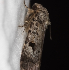 Thoracolopha verecunda (A Noctuid moth (group)) at Melba, ACT - 13 Mar 2021 by Bron