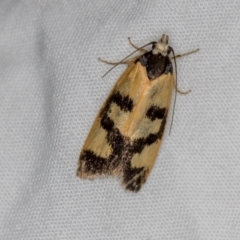 Eulechria ophiodes (A Concealer moth) at Melba, ACT - 13 Mar 2021 by Bron
