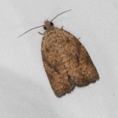 Epiphyas sp. (genus) (A Tortrid moth) at Melba, ACT - 13 Mar 2021 by Bron