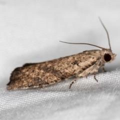 Epiphyas sp. (genus) at Melba, ACT - 13 Mar 2021