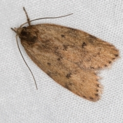Garrha leucerythra (A concealer moth) at Melba, ACT - 13 Mar 2021 by Bron