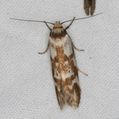 Palimmeces habrophanes (A Concealer moth) at Melba, ACT - 13 Mar 2021 by Bron