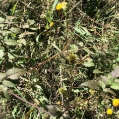 Bidens pilosa (Cobblers Pegs, Pitch-forks, Farmer's Friend) at Holt, ACT - 11 Apr 2021 by KMcCue