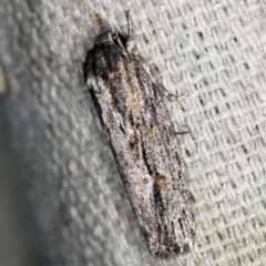 Agriophara platyscia at O'Connor, ACT - 5 Apr 2021