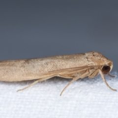 Scoliacma (genus) at Melba, ACT - 4 Apr 2021