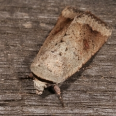 Proteuxoa leptochroa (Broad-bodied Noctuid) at Melba, ACT - 4 Apr 2021 by kasiaaus