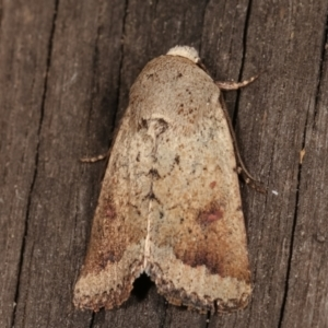 Proteuxoa leptochroa at Melba, ACT - 4 Apr 2021