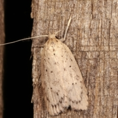 Garrha (genus) (A concealer moth) at Melba, ACT - 4 Apr 2021 by kasiaaus