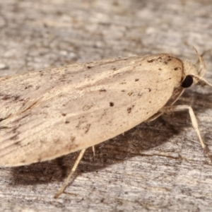 Garrha (genus) at Melba, ACT - 4 Apr 2021