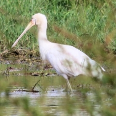 Platalea flavipes (Yellow-billed Spoonbill) at Wodonga - 11 Apr 2021 by Kyliegw