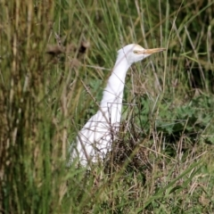 Bubulcus ibis (Cattle Egret) at Wodonga - 11 Apr 2021 by Kyliegw
