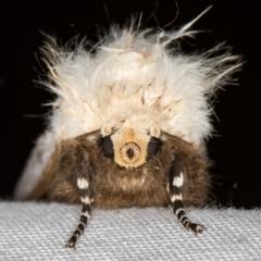 Oenosandra boisduvalii (Boisduval's Autumn Moth) at Melba, ACT - 13 Mar 2021 by Bron