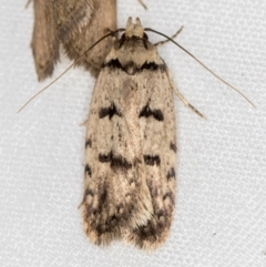 Scatochresis episema (A scat moth) at Melba, ACT - 13 Mar 2021 by Bron